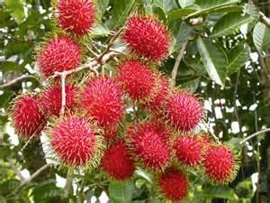 pohon buah rambutan www pixshark images galleries with a bite