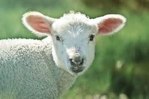 Photo gratuite agneau moutons des animaux image gratuite sur