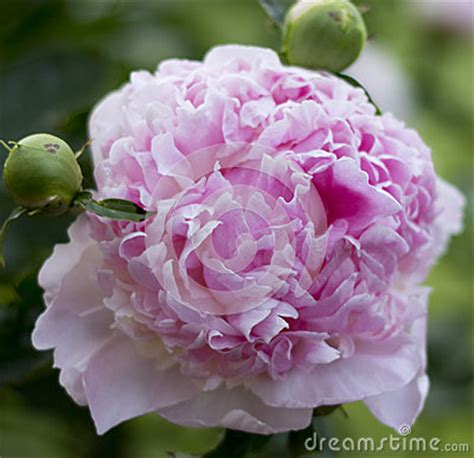 unbloomed peonies pink peony flower stock photo image 52215310