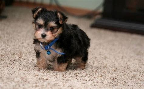 missoula puppies two great looking teacup yorkie puppies available for adoption missoula animal pet