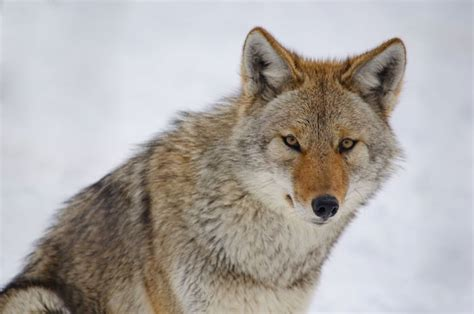 coyote images coyote spirit animal totem meaning