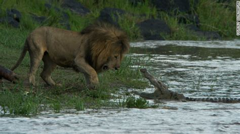 film lion vs lion real life lion kings african big cats caught on film
