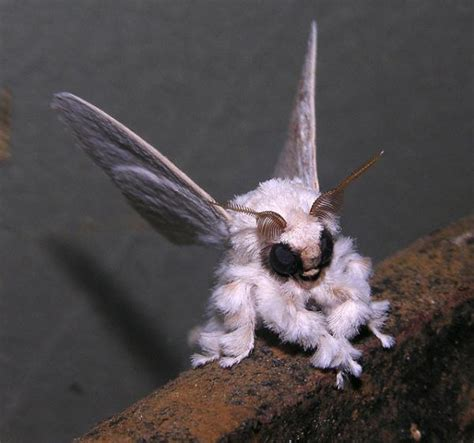 poodle moth lifespan 1000 images about beautiful creatures on