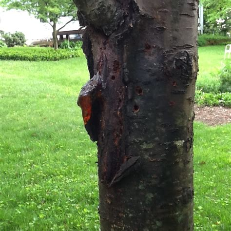 cherry tree rehab weeping cherry gummosis ask an expert