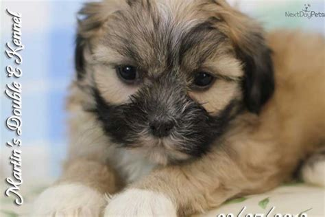 lhasa shih tzu mix for sale lhasa apso shih tzu puppies lhasa apso puppy pictures images frompo
