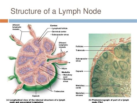 What Is A Lymp Node Detox Machine by 1000 Images About Lymphatic System On Lower