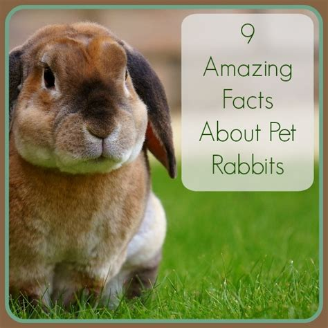 9 Amazing Pets To by 9 Amazing Facts About Pet Rabbits Petrest