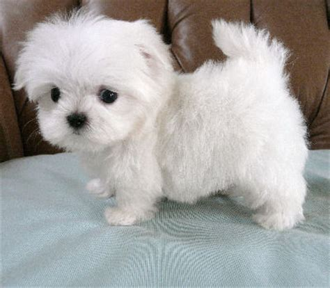 havanese maltese puppies for sale available maltese and havanese puppies 171 southern silks puppies