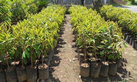 Jual Bibit Cabe Rainbow Murah pusat distributor grosir eceran jual bibit tanaman durian
