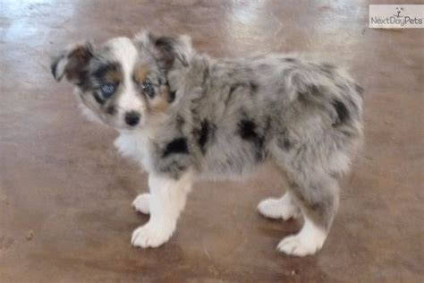 puppies oklahoma australian shepherd puppies oklahoma
