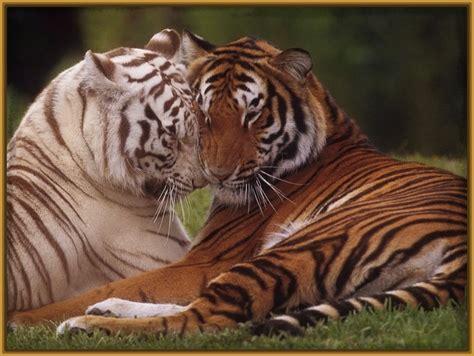 imagenes fondo de pantalla tigre fondos de pantalla tigres bebes archivos imagenes de tigres