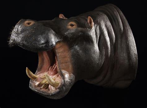 wildlife gallery custom taxidermy studio hippo