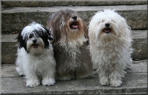 akc rules for giving a havanese a hair cut kandl kidz specializing in healthy happy havanese akc