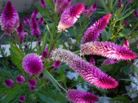 fiore della gelosia celosia ovvero la cresta di gallo pollicegreen