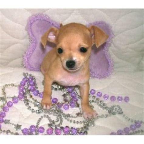 free puppies in iowa chihuahua breeders in iowa freedoglistings