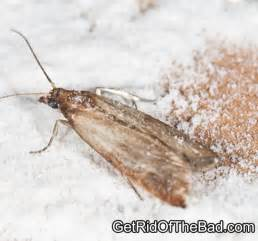how to get rid of pantry moths and larvae in your kitchen