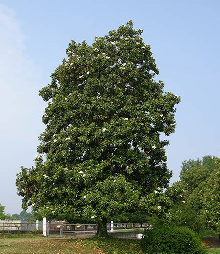 top 28 southern magnolia trees for sale image gallery