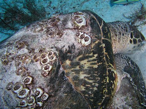 sea turtle and barnacles on shell | Flickr - Photo Sharing!