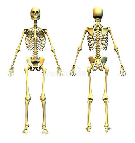 pelvis esqueleto humano frente cibertareas esqueleto humano frente y parte posterior stock de