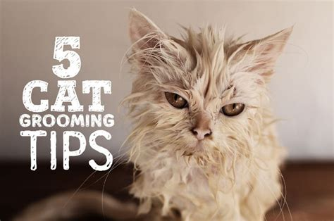 7 Tips On Grooming Your by Cat Grooming Cats And Tips On