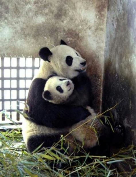 Humidifier Belli To Baby Panda 92 best baby pandas images on