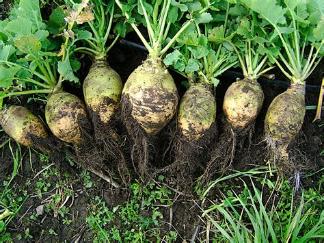 Root Vegetable Identification - steckr 252 be wikipedia