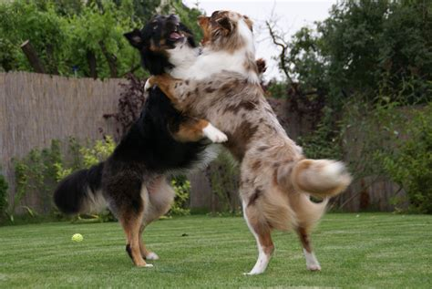 Do Australian Sheep Dogs Shed by File Australian Shepherd Joey And Lena Jpg