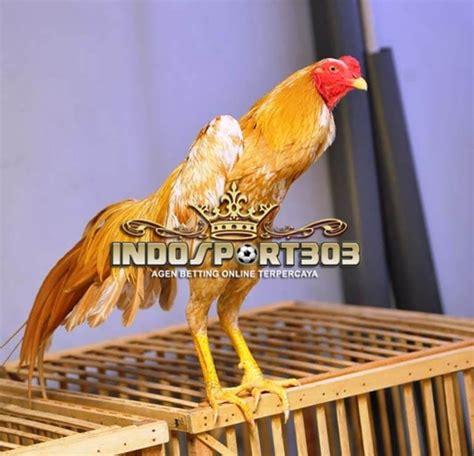 ayam bangkok wangkas emas lima kelebihan utama