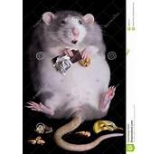 Rata Gorda Imagenes De Archivo  Imagen 16591514