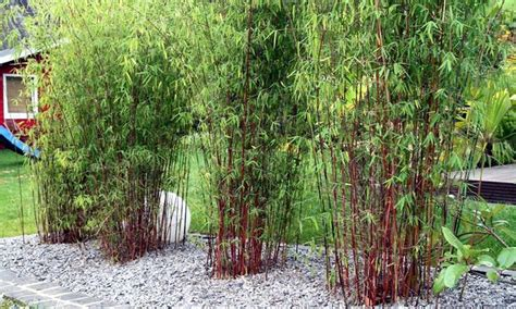 red bamboo plants groupon goods