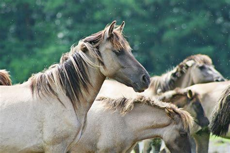 gratis paarden gratis foto dieren paarden wilde paarden gratis