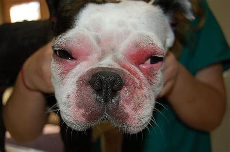 can dogs allergies what can i give my for allergies care 4 your pets