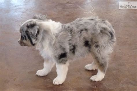 australian shepherd puppies for sale in oklahoma miniature australian shepherd puppies for sale in oklahoma breeds picture