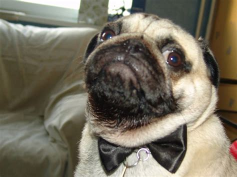 pug store pugs search results million gallery