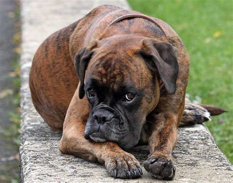 boxer puppies ta boxer dogs breeds pets