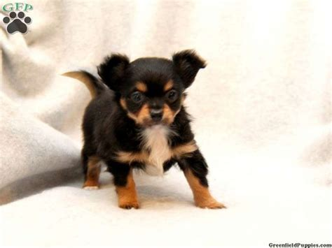 chihuahua mixed with rottweiler chihuahua rottweiler puppies animals chihuahuas rottweiler mix