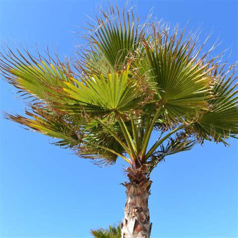 Le Palmier palmier 224 chanvre plantes et jardins