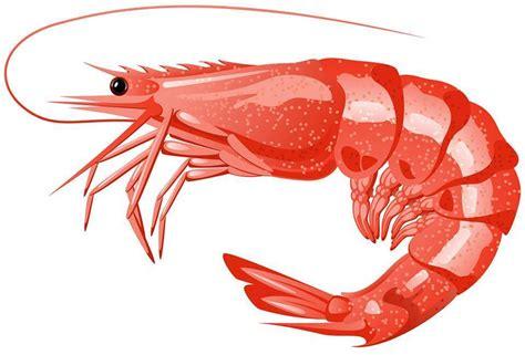 shrimp clip shrimp clipart transparent pencil and in color shrimp
