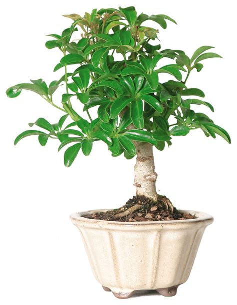 8 Pc Dining Room Set by Dwarf Hawaiian Umbrella Tree Bonsai Tree Asian Plants