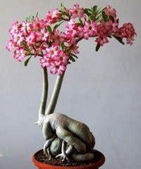 desert rose bonsai tree