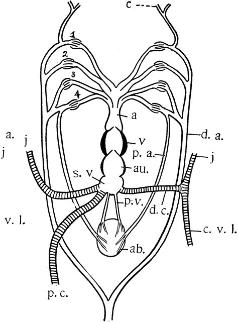 Queensland Lungfish Heart   ClipArt ETC