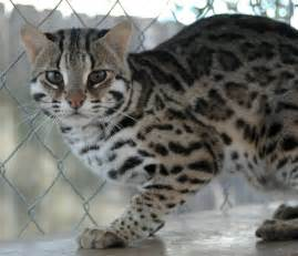 asian leopard cat images