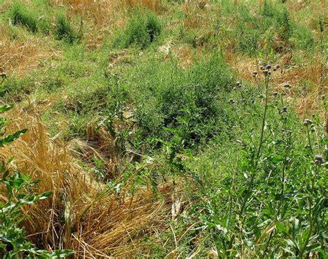 wann ist rasenmähen erlaubt sikkation im getreidebau nur unter sehr eingeschr 228 nkten