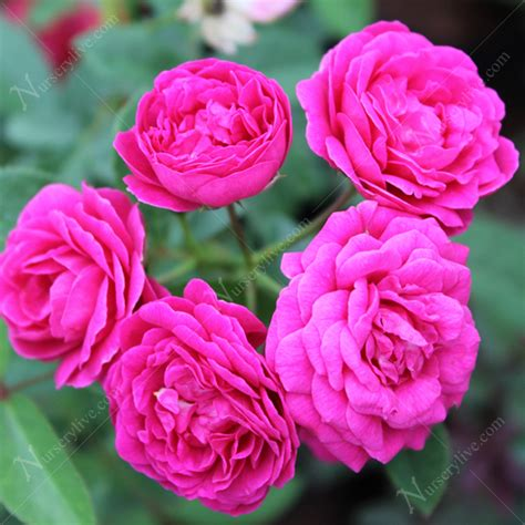 buy miniature rose button rose pink plant
