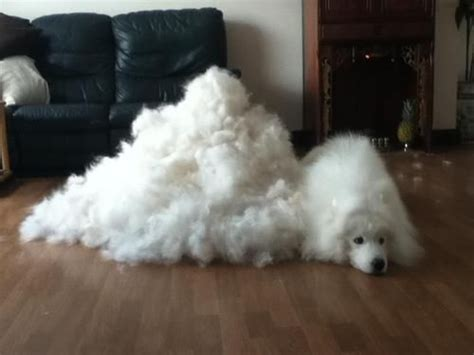 Dogs Shedding Winter Coat by The World S Catalog Of Ideas