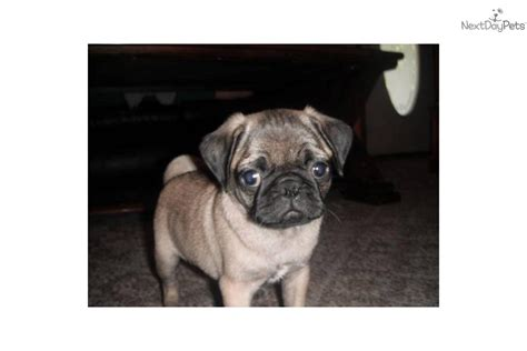 pug puppies springfield mo color pug puppies for sale breeds picture