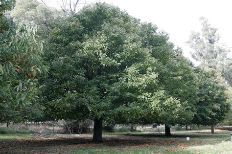 file chestnut tree jpg 维基百科 自由的百科全书