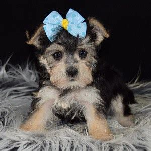 morkie puppies for sale in ct morkie puppy for sale puppies for sale in pa va de nj