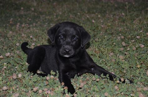 akc lab puppies for sale akc labrador retriever puppies for sale in massachusetts pdf