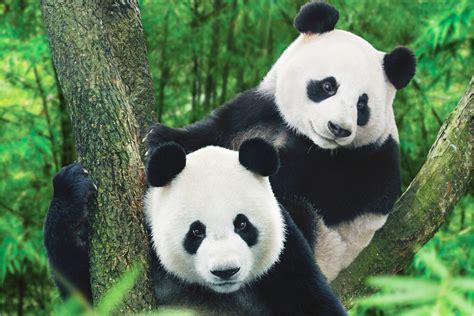panda china 53 get up to pandas in china international